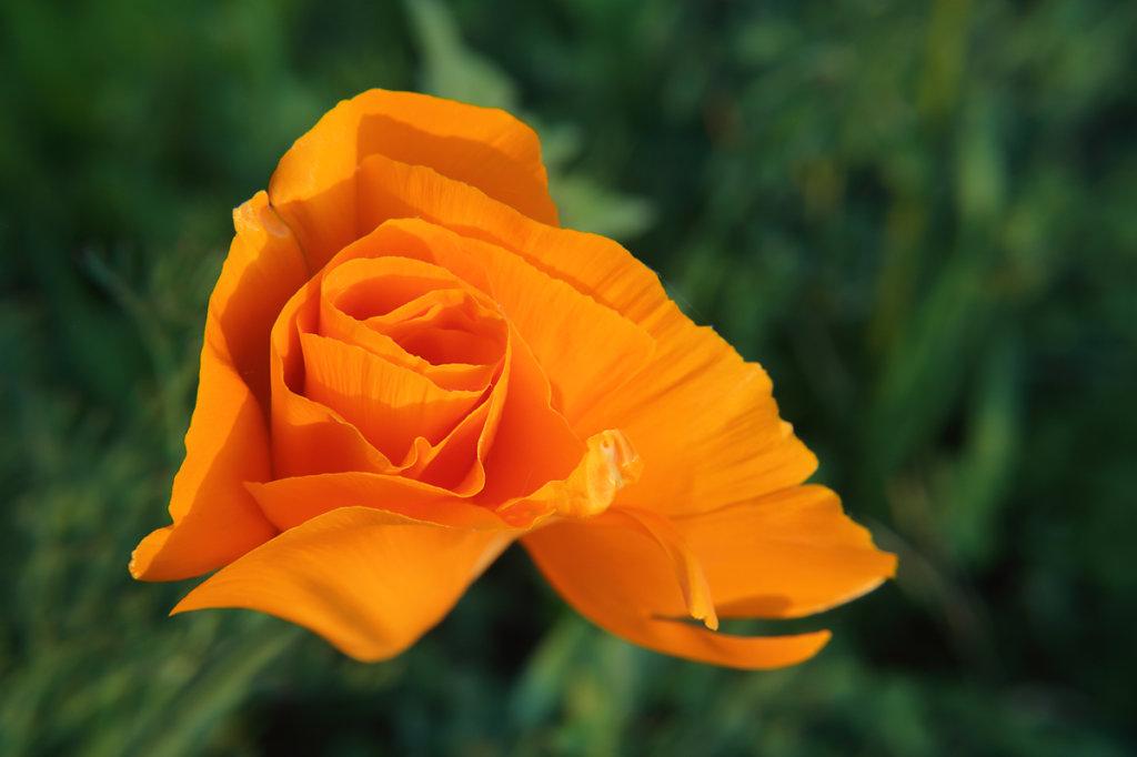 orange japanese flower